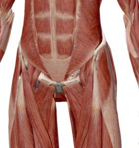 股関節と筋肉
